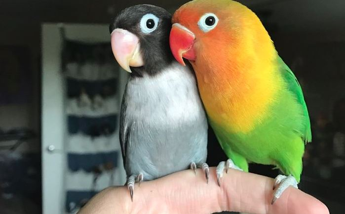 Two Very Different Looking Parrots Just Had Babies, And The Pictures Are In