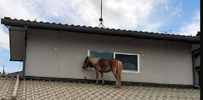 Missing miniature therapy horse found alive on roof after Japan's floods