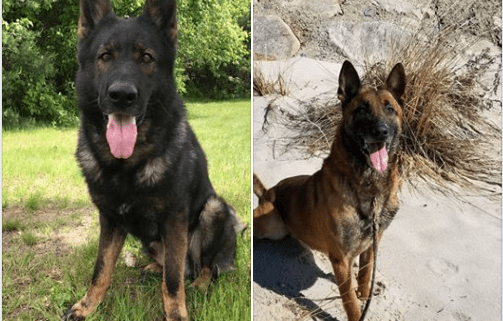 Forever homes sought for two retired police dogs
