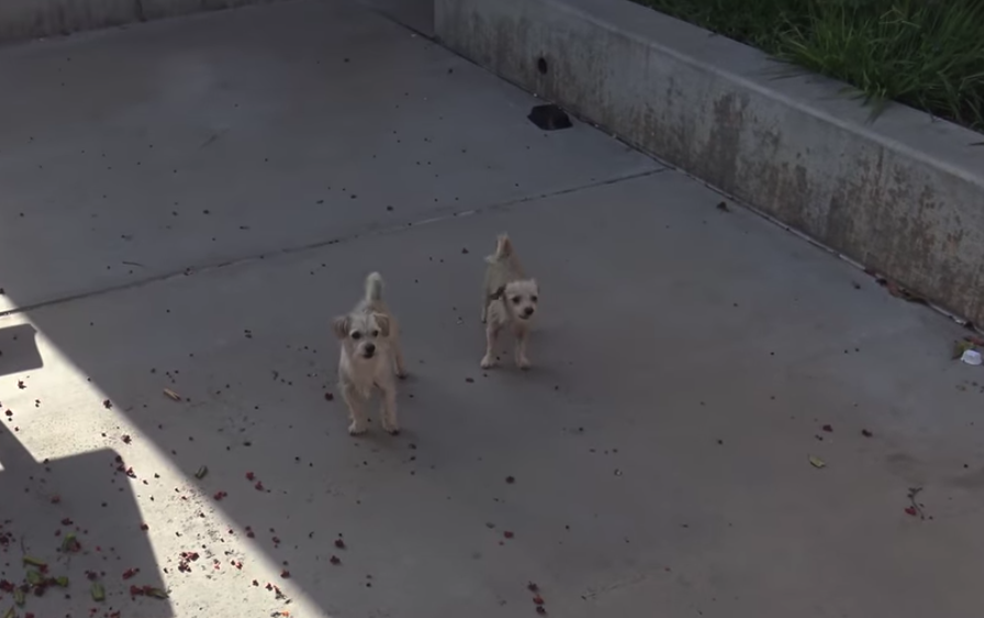 Two Homeless Dog Friends Take Refuge In Schoolyard And Evade Rescue For Weeks