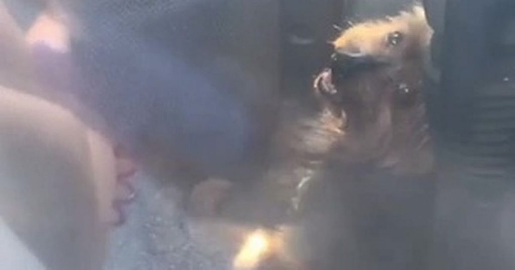 Dog Desperately Honks Horn to Get Rescued from Hot Car