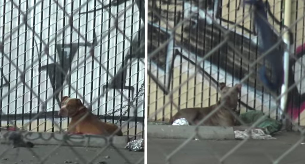 Two Pit Bulls Chained Under A Bridge Didn't Know Life Could Be So Much Better