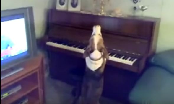 Dog Not Only Sings He Plays The Piano Too