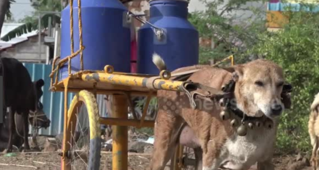 Abuse or love for Mani? Dog delivers milk twice daily by cart in India