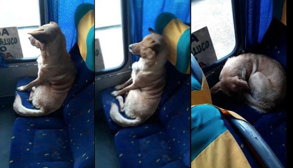 Bus Driver Surprised to Discover Dog Sitting On His Bus