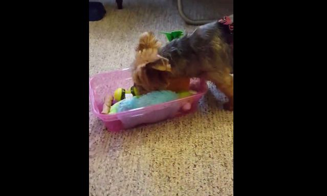 Happy dog takes new toys out of the box