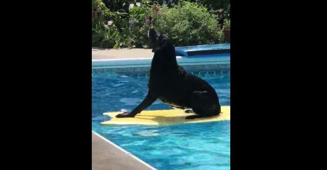 Labrador displays shockingly impressive balance on water