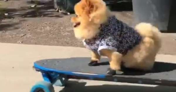 Skateboarding Pomeranian is the coolest dog on the block