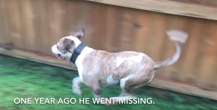Runner Reunites Stray Pit Bull with His Family Who Thought He Was Dead