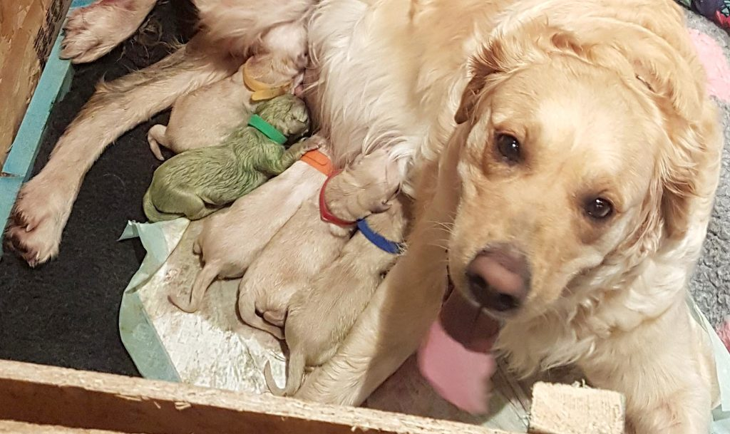 Golden Retriever Gives Birth To Extremely Rare Puppy That Is 1 Of Only 3 Known To Exist