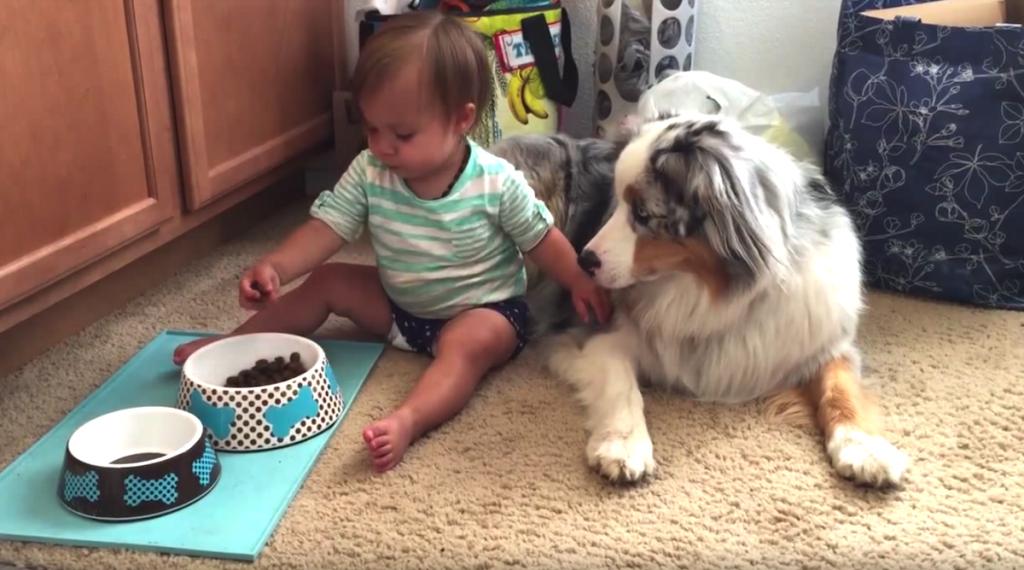 Baby Preciously Hand-Feeds Dog Food To Gentle Australian Shepherd