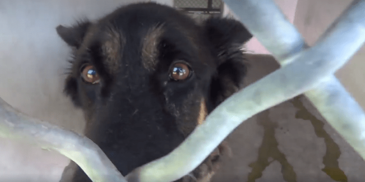 Help needed for handsome shepherd – stressed and confused at animal control