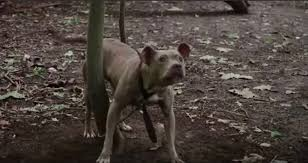 Abandoned Pit Bull Tied Up to Tree For Days Learning to Trust Again