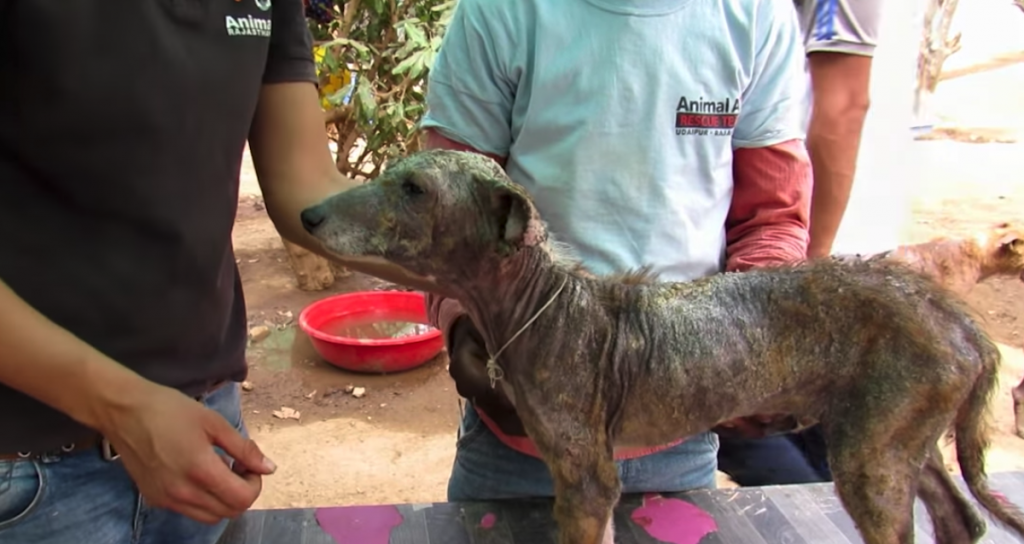 Puppy Found With Severe Mange Manages To Wag His Tail Despite His Situation
