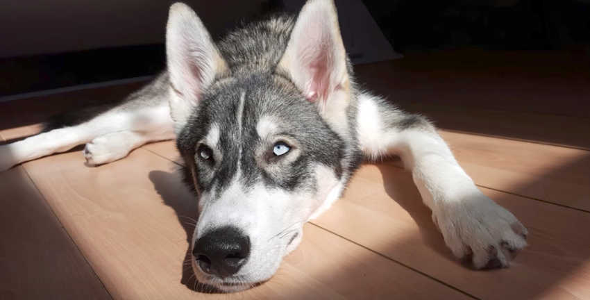 Husky's Had Separation Anxiety His Whole Life, So He Got A Little Companion
