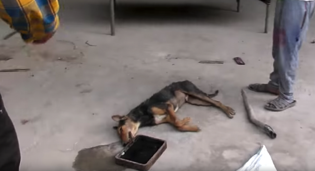 Injured Dog Found Collapsed In A Factory Wags Tail Upon Seeing Rescuers