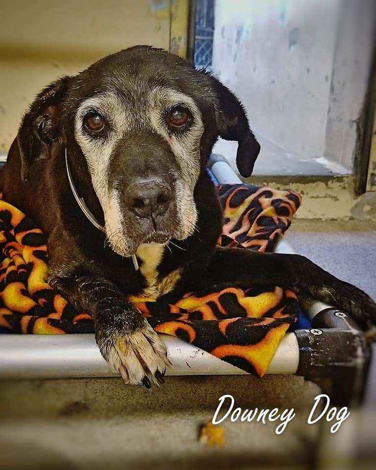 A beautiful senior dog, with the most endearing gray face and expressive eyes, is sitting in a lonely kennel run in California