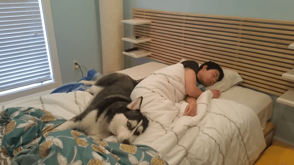 Husky Tries To Wake Up His Owner But He Ends Up Snuggling Him