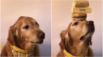 Talented dog balances food on head