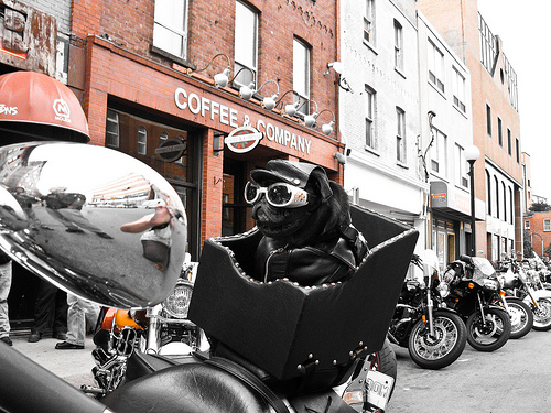 Jack the Dog on a Harley Ride