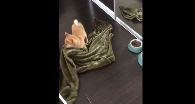 Puppy can't figure out how to bring blanket onto bed
