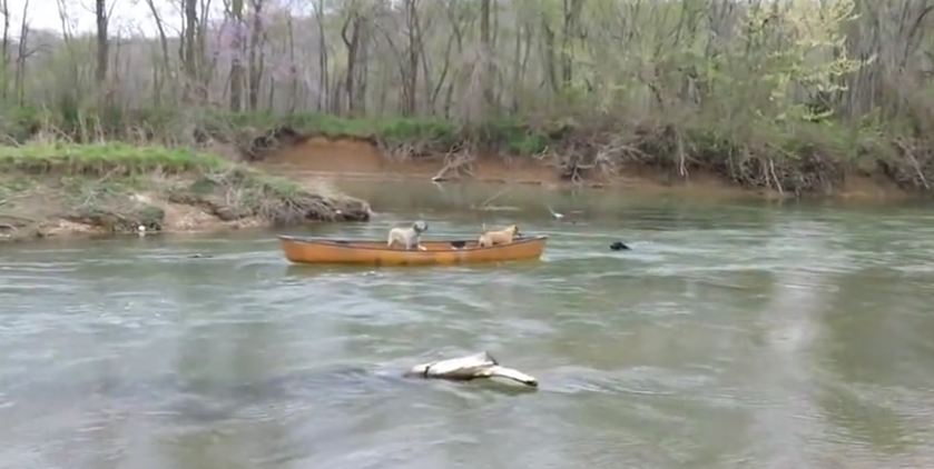 Two Dogs Trapped In A Moving Kayak Rescued By A Heroic Dog