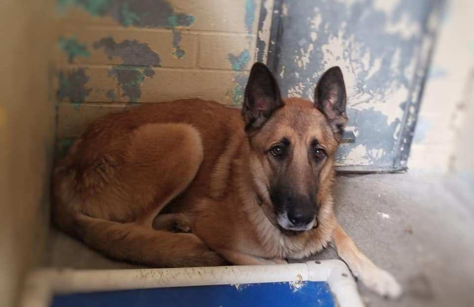 Gentle senior shepherd longs for someone to love him