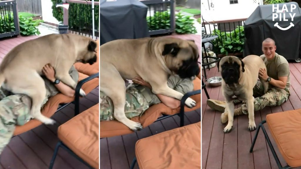 Giant Bullmastiff Lavishes US Soldier With Kisses On Return Home