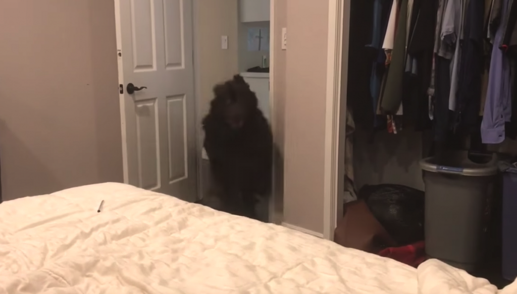 Giant Newfoundland Always Has One Last Burst Of Energy Before Going To Bed