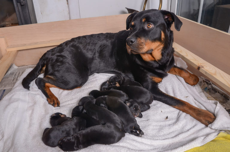 Rottweiler Goes Into Labor As Expected, But The Puppies Keep On Coming