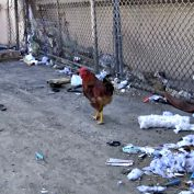 A rooster escapes from a slaughterhouse – the end of the story is UNREAL!