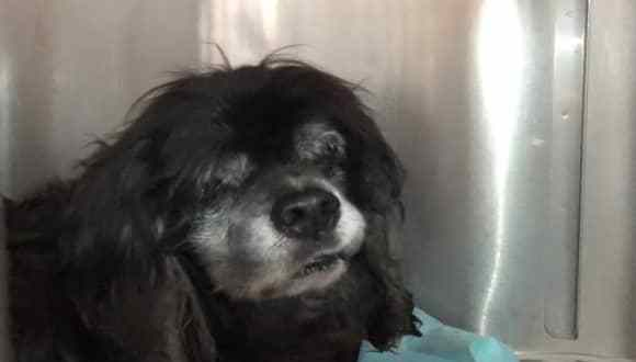 How does this happen? 14-year-old blind dog found as stray