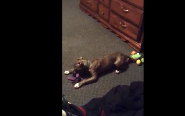 Spastic puppy loses mind when given new toy
