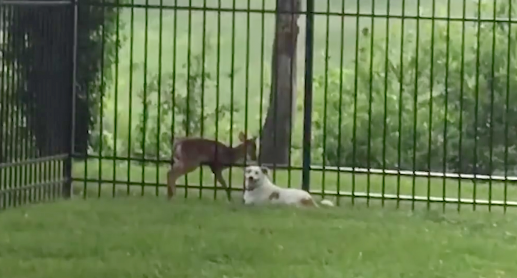 Caring Dog Seen Waiting By Stuck Fawn Until Help Could Arrive