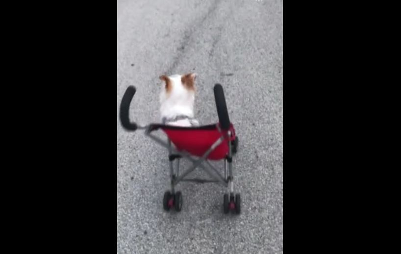 White dog red stroller moving driving by itself hits curb