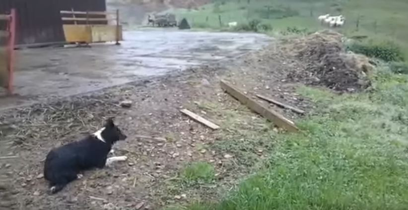Border Collie Herds Sheep, Proving Why He's The Expert In The Field
