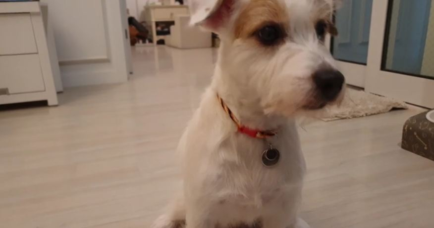 Jack Russell Terrier Closes Door To Hide Its Guilt