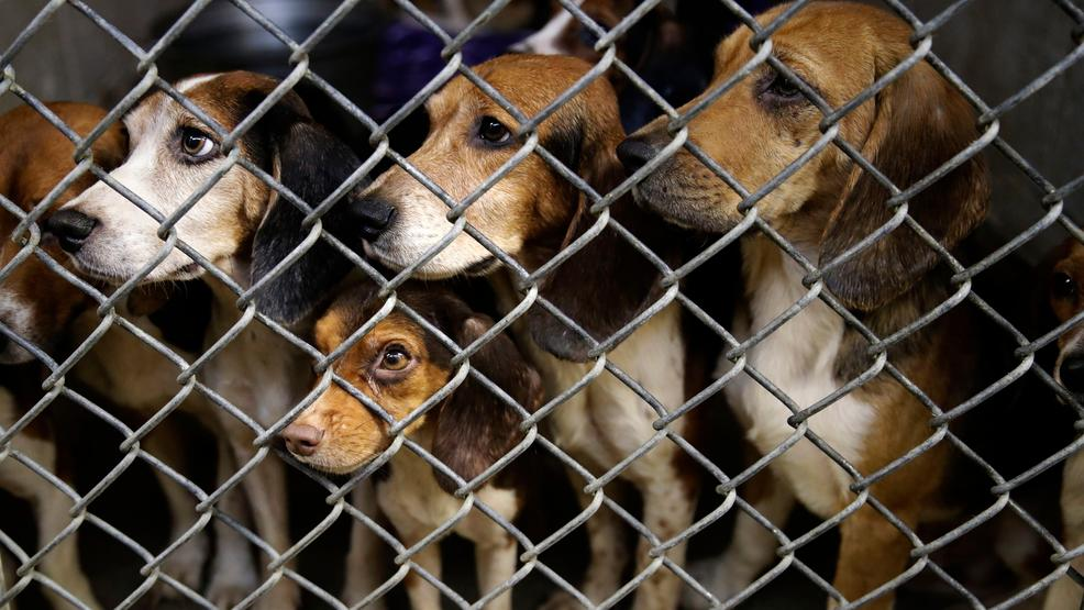 Beagles Crammed in Small Home Are Finally Safe
