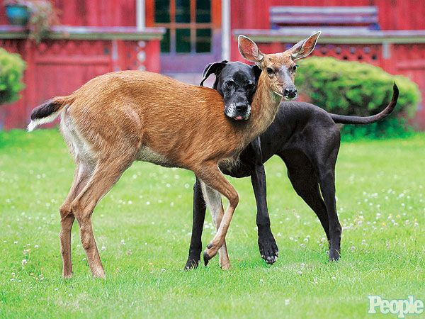 Deer Abandoned By Mother Befriends Great Dane