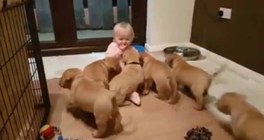 Puppies Adorably Pile On Top of Giggling Baby Girl