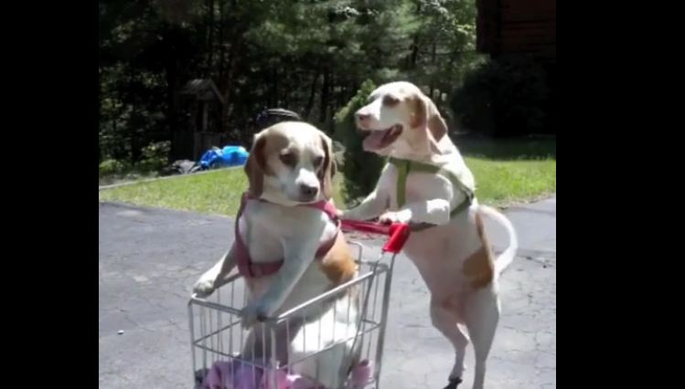 My 2 smart dogs shopping for me