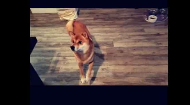 Shiba Inu literally dances for water bottle