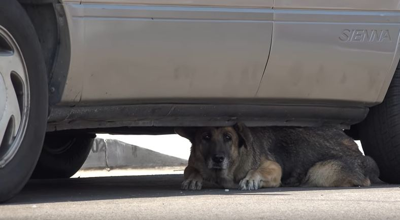 Abandoned senior German Shepherd hid under a car until Hope For Paws arrived
