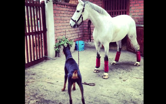 The Inseparable Bond Between A Doberman Dog And His Horse Pal
