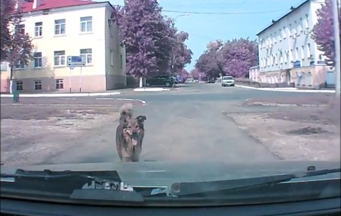 Psychic Dog Warns Driver About A Future Traffic Event