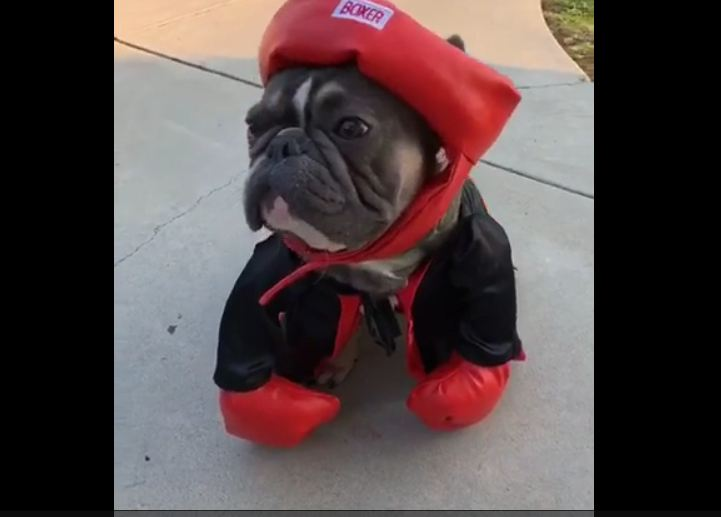 French Bulldog dresses as boxing champ for Halloween