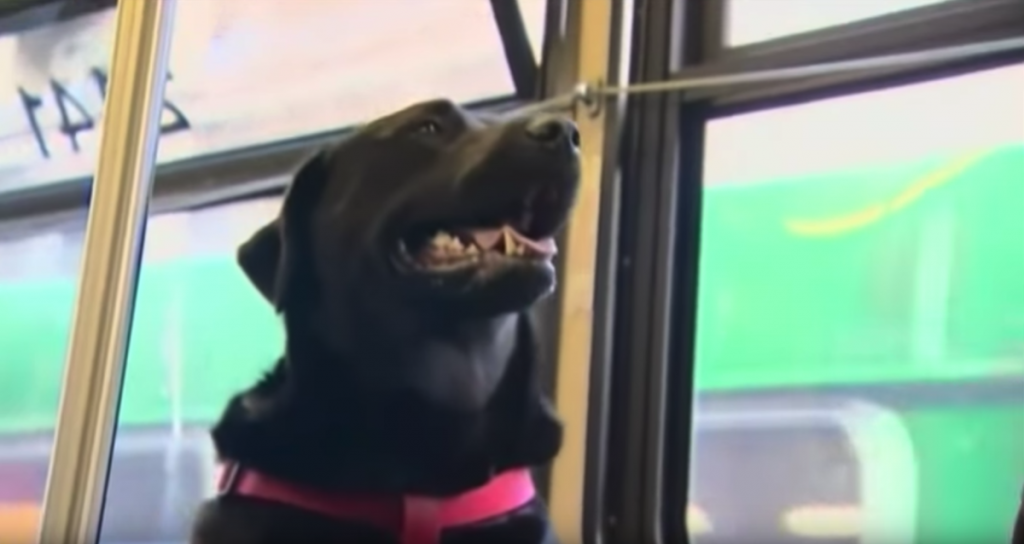 Clever Dog Takes The Bus By Herself Every Day To Go To The Park