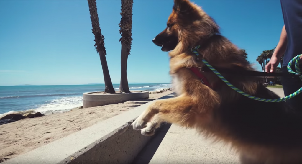 Dog Howls Out In Excitement Seeing The Ocean For The First Time After 5 Years On A Chain