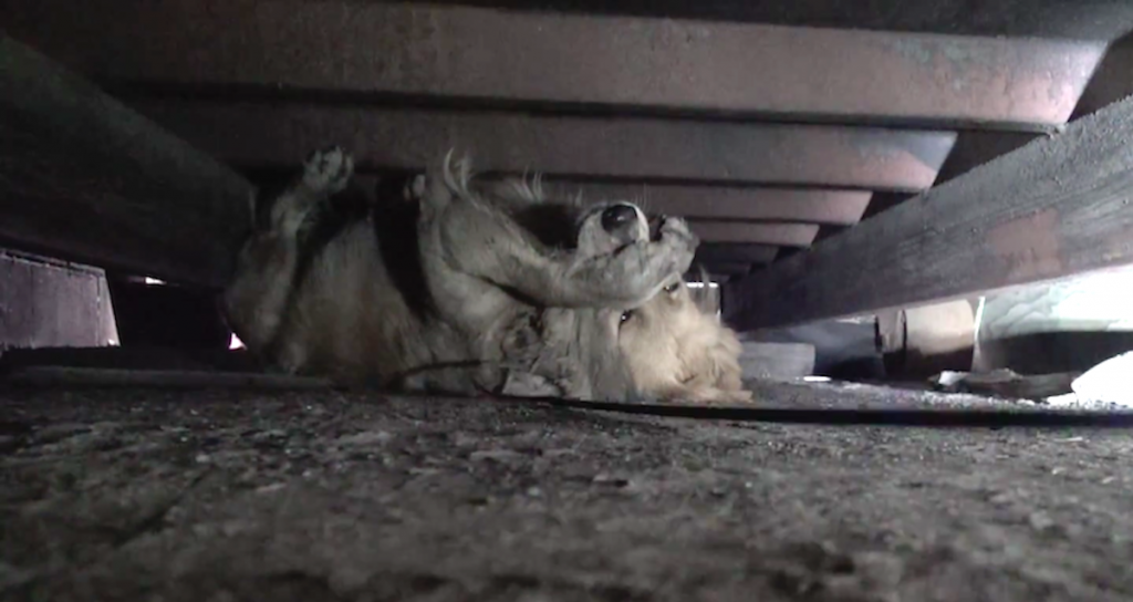 Homeless Golden Retriever Is So Scared She Covers Her Eyes As People Approach