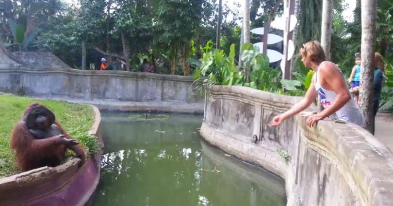 Orangutan Decides To Play Catch When Man Tosses Him A Treat